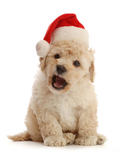 Photograph - Christmas Cavapoochon Pup by Warren Photographic