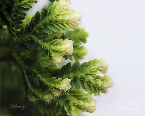 Photograph - Christmas Fern by Natalie Dowty