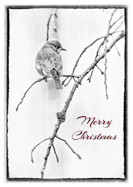 Photograph - Christmas Greeting Bluebird In Black And White by Mother Nature