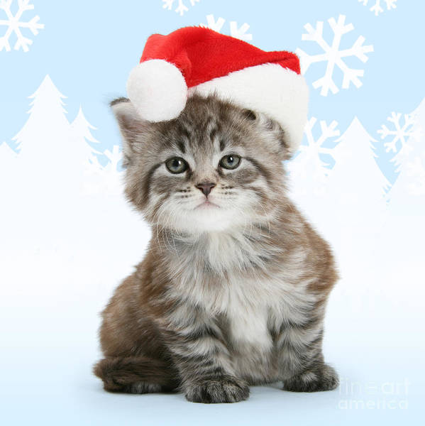 Photograph - Christmas Maine Coon Kitten by Warren Photographic