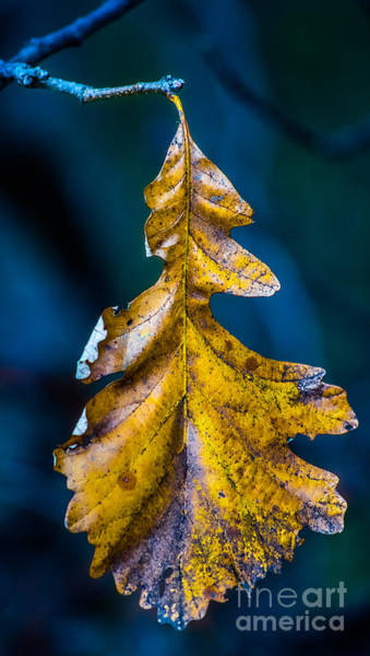 Photograph - Christmas Oak by Michael Arend