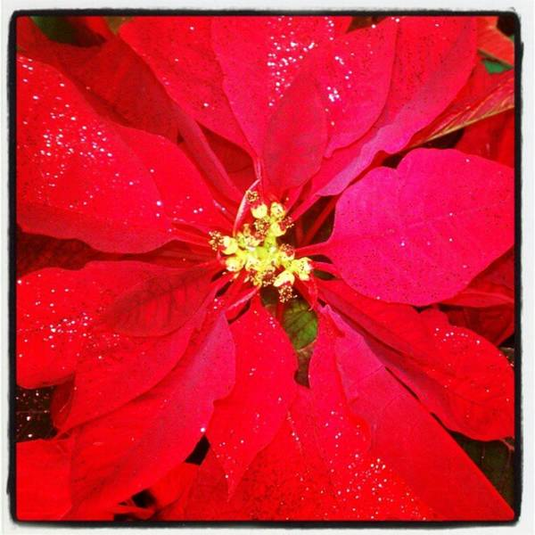 Photograph - #christmas #poinsettia #flower by Tammy Winand