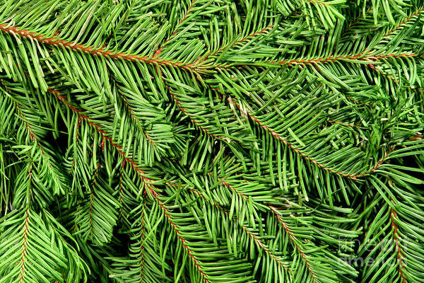 Photograph - Christmas Tree Branch Background by Olivier Le Queinec