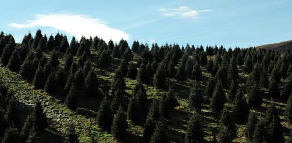 Photograph - Christmas Tree Farm by Grace Dillon