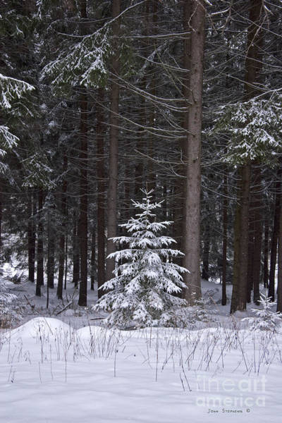 Wall Art - Photograph - Christmas Tree In Evergreen Forest by John Stephens