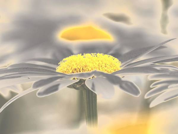 Wall Art - Photograph - Chromium Daisies by Frank Piercy