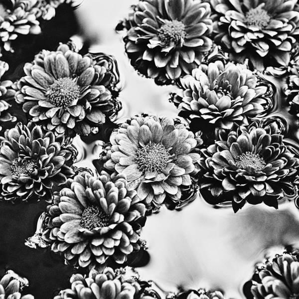 Wall Art - Photograph - Chrysanthemum 4 by Skip Nall