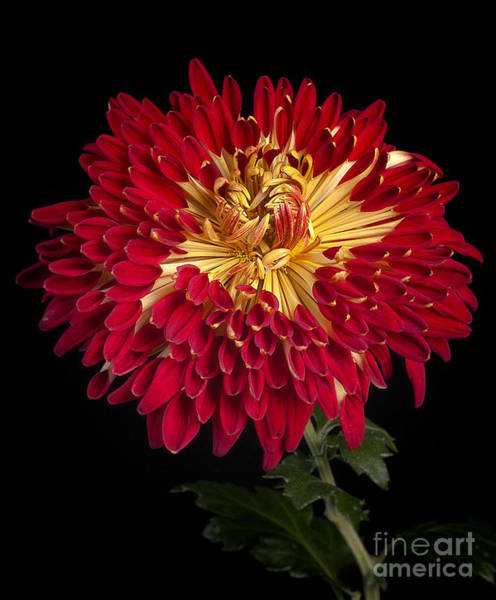 Photograph - Chrysanthemum 'alabama' by Ann Jacobson