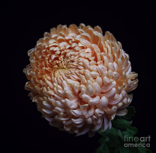 Photograph - Chrysanthemum 'apricot Alexis' by Ann Jacobson