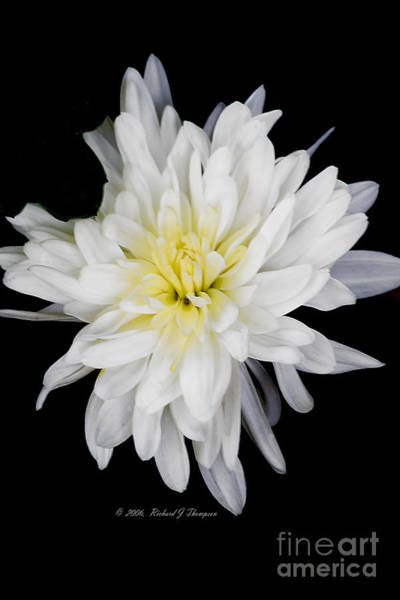 Photograph - Chrysanthemum Bloom by Richard J Thompson