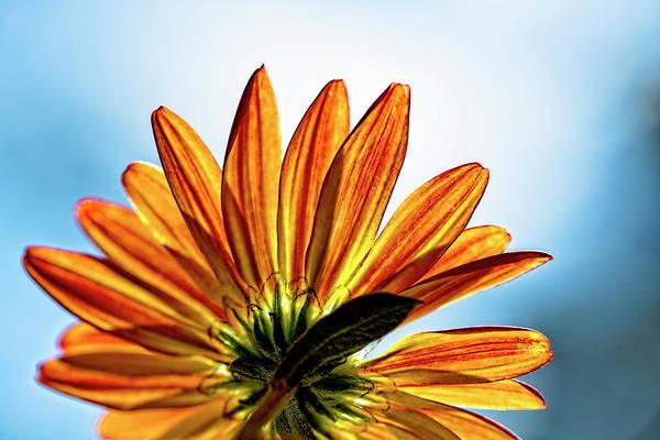 Photograph - Chrysanthemum Blues by Kay Brewer