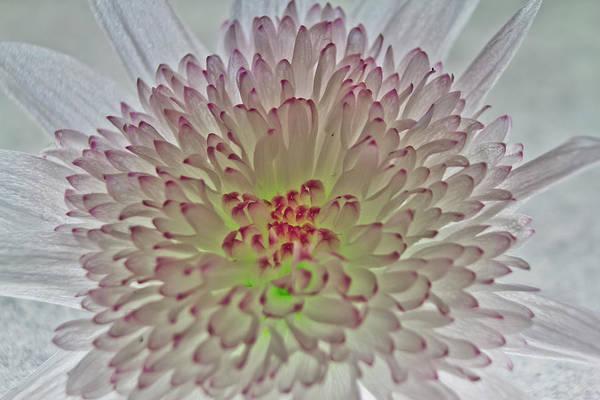 Photograph - Chrysanthemum by Brian Roscorla
