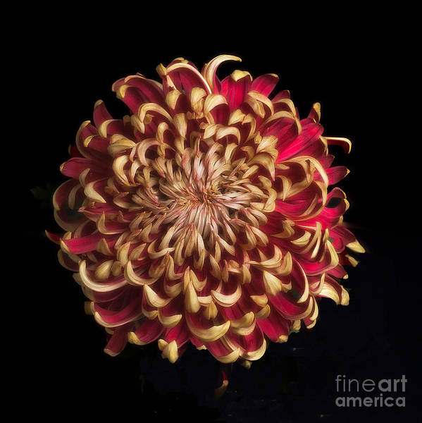 Photograph - Chrysanthemum  'crimson Tide' by Ann Jacobson