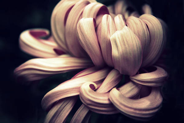 Photograph - Chrysanthemum Curls by Jessica Jenney