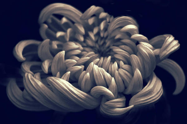 Photograph - Chrysanthemum Curves by Jessica Jenney