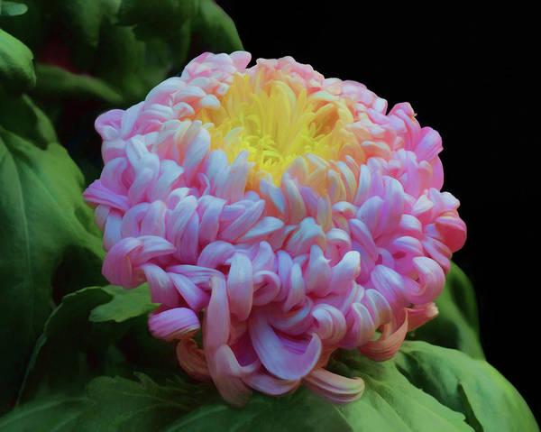 Wall Art - Photograph - Chrysanthemum Glow by Nikolyn McDonald