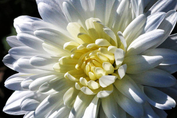 Photograph - Chrysanthemum In Sunlight by William Selander