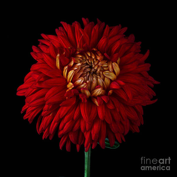 Photograph - Chrysanthemum 'indian Summer' by Ann Jacobson