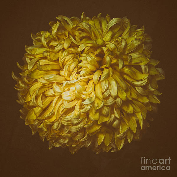 Photograph - Chrysanthemum 'mt Mcginley' by Ann Jacobson