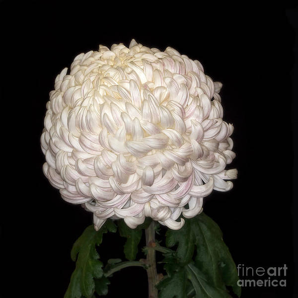 Photograph - Chrysanthemum 'mt Shastar' by Ann Jacobson