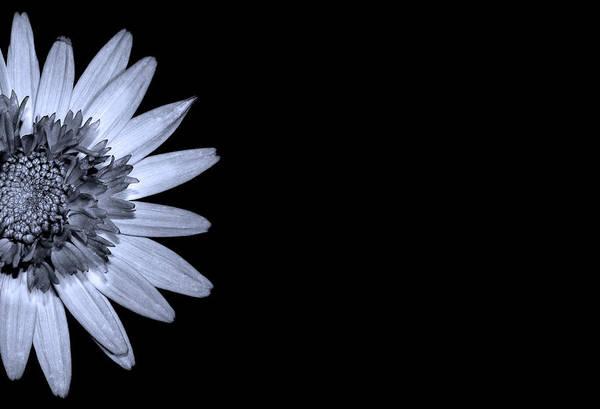 Wall Art - Photograph - Chrysanthemum On Black by Mark Rogan