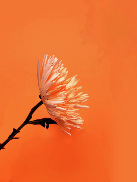 Wall Art - Photograph - Chrysanthemum Orange by Mark Rogan