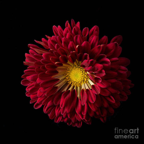 Photograph - Chrysanthemum 'red Wing' by Ann Jacobson