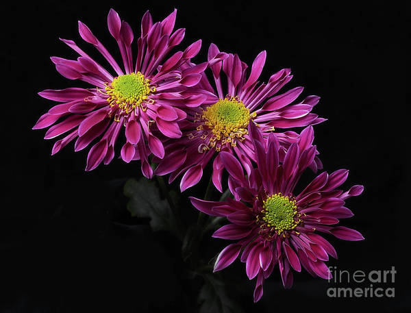 Photograph - Chrysanthemum 'saba' by Ann Jacobson