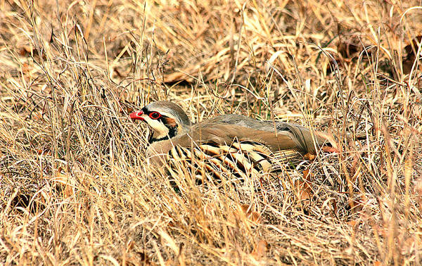 Photograph - Chuckar Bird Hiding In Grass by Sheila Brown