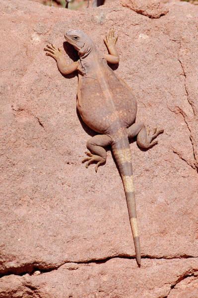 Chuckwalla Photograph - Chuckwalla, Saurolamus Ater by Breck Bartholomew