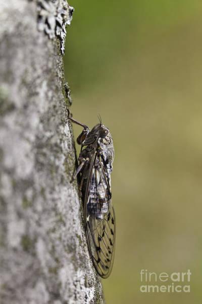 Cicada Wall Art - Photograph - Cicada by Gabriela Insuratelu
