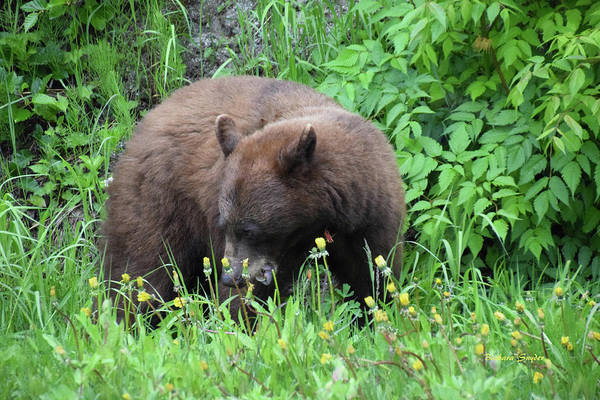 Photograph - Cinnamon Bear British Columbia by Barbara Snyder
