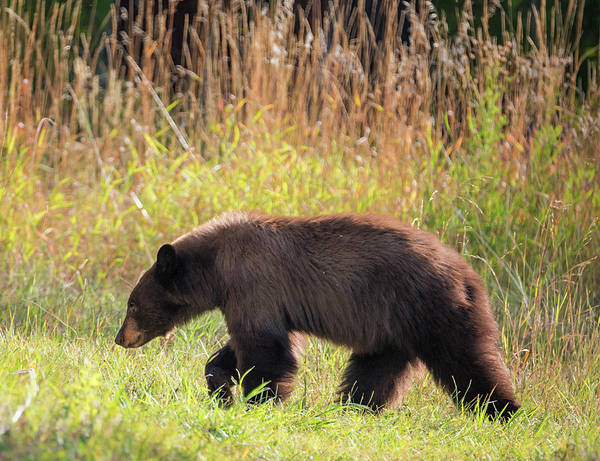 Photograph - Cinnamon Bear by Loree Johnson