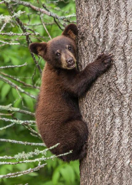Photograph - Cinnamon Colored Black Bear Cub by Randall Nyhof