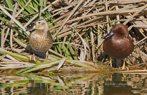 Photograph - Cinnamon Duo by Mike Fitzgerald