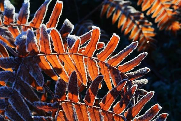 Fern Frost Photograph - Cinnamon Fern by Charlaina Swinney