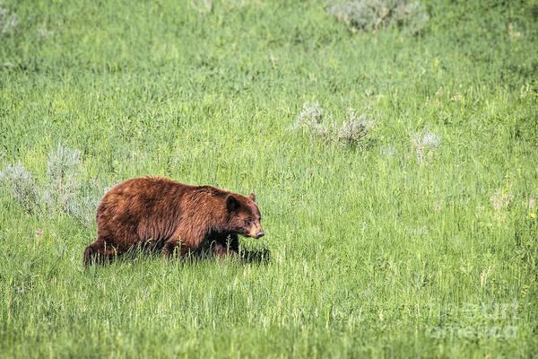 Photograph - Cinnamon Phase Black Bear by Jemmy Archer
