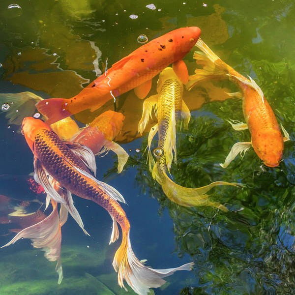 Photograph - Circle Of Koi by Mark Mille