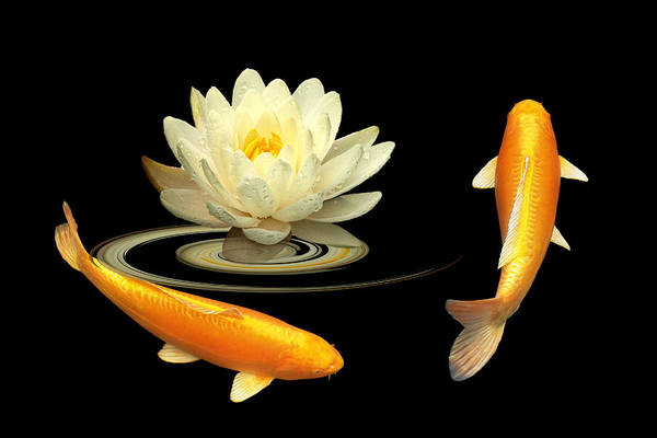 Carp Photograph - Circle Of Life - Koi Carp With Water Lily by Gill Billington