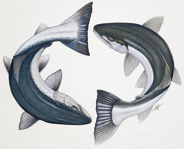 Atlantic Canada Wall Art - Painting - Circling Atlantic Salmon And Steelhead by Nick Laferriere
