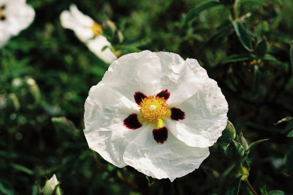 Photograph - Cistus Cultivar by Paul Cowan