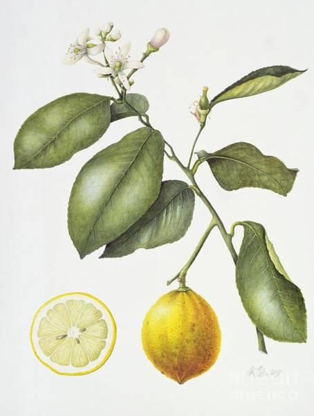 Stalk Painting - Citrus Bergamot by Margaret Ann Eden