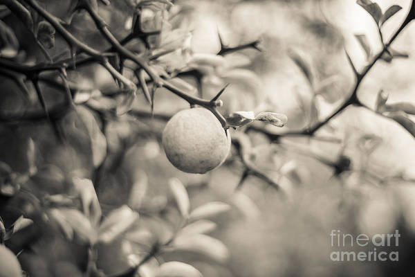 Photograph - Citrus Tree by Ana V Ramirez