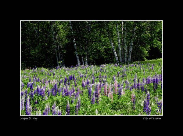 Photograph - City Of Lupine Poster by Wayne King