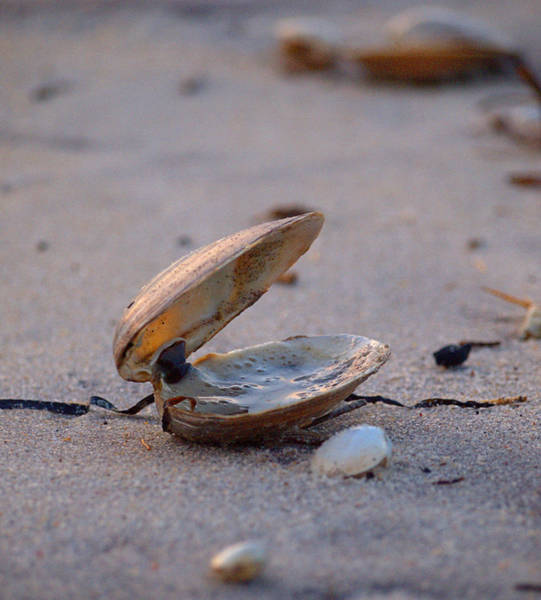 Photograph - Clam I by  Newwwman