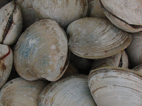 Photograph - Clam Shells by Juergen Roth