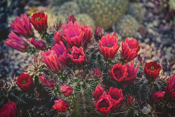 Photograph - Claret Cup Blooms by Lucinda Walter