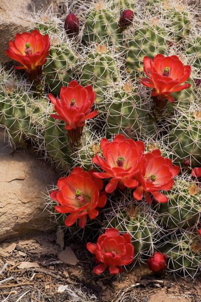 Photograph - Claret Cup Cactus by Dan Norris