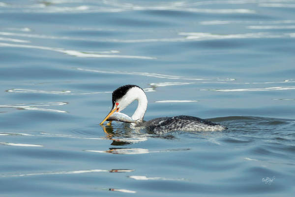 Wall Art - Photograph - Clarks Grebe by Everet Regal