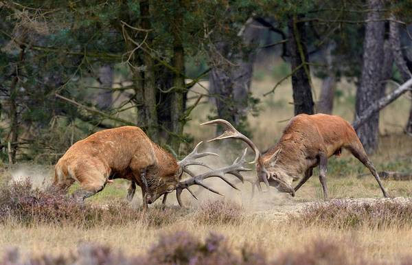 Red Deer Photograph - Clash Of The Titans by Roelof Janssens